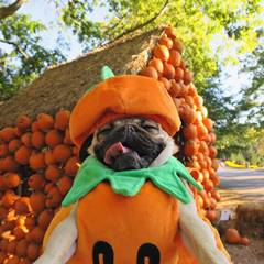 A pug dog dressed as a pumpkin for Halloween