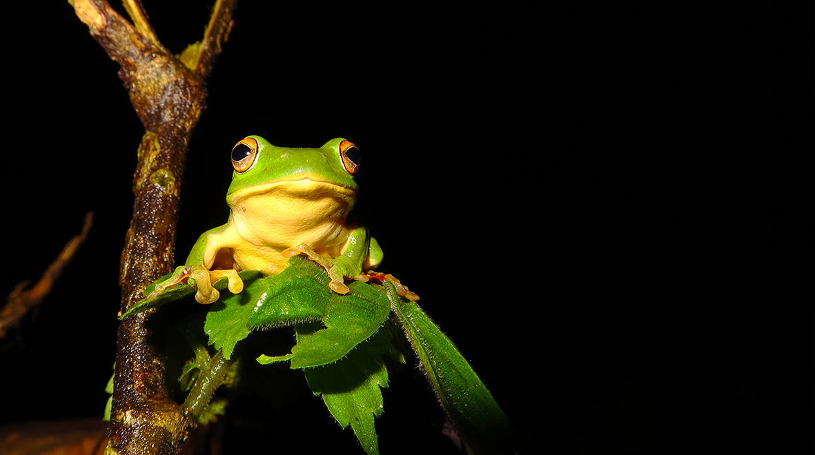 Rhacophorus moltrechti – a species of frog endemic to Taiwan. Photographed by Lin Chun-Fu.