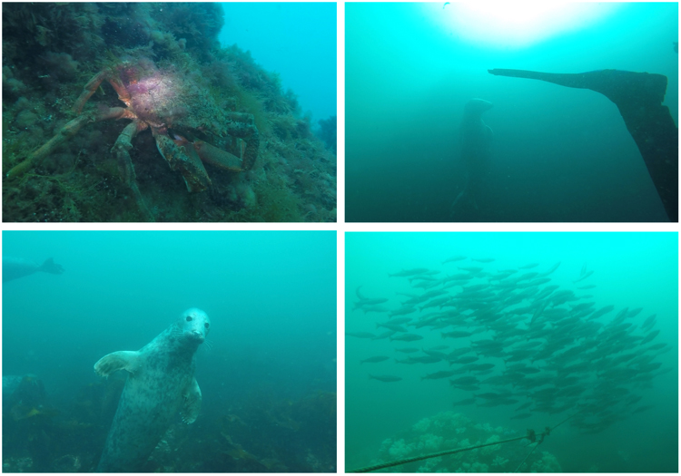 Fig. 1: Recent photos from UK diving trips to Eyemouth (Scotland) & the Farne Islands (Northumberland)