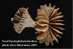 Fossil Desmophyllum dianthus