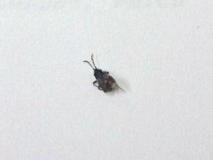 A bug, Drymus brunneus