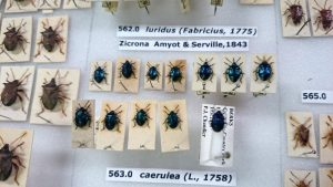 Shieldbugs in the Heteroptera collection at BENHS