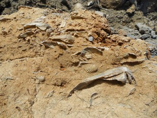 Shelly fossils at Osmington Mills, Dorset