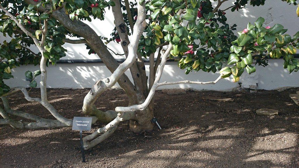 Camellia japonica 'Imbricata'
