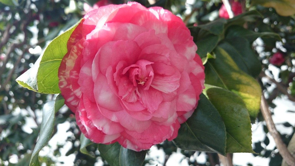 Pink and white Camellia flower